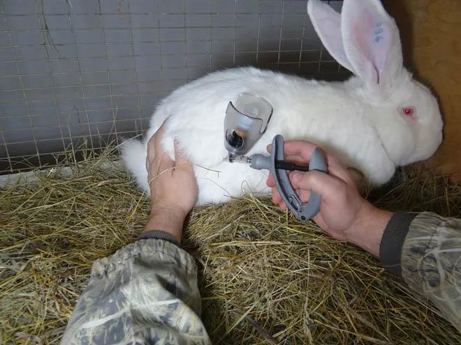 Тяжелые формы пастереллеза кроликов лечат антибиотиками
