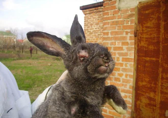 Миксоматоз может стать причиной смерти кроликов