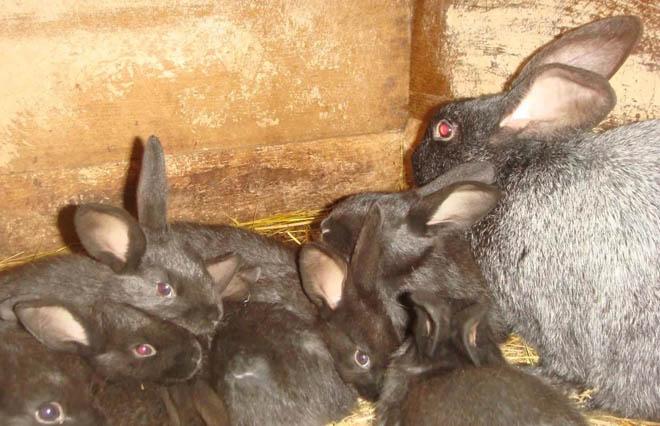 Иммунитет крольчатам передается от матери