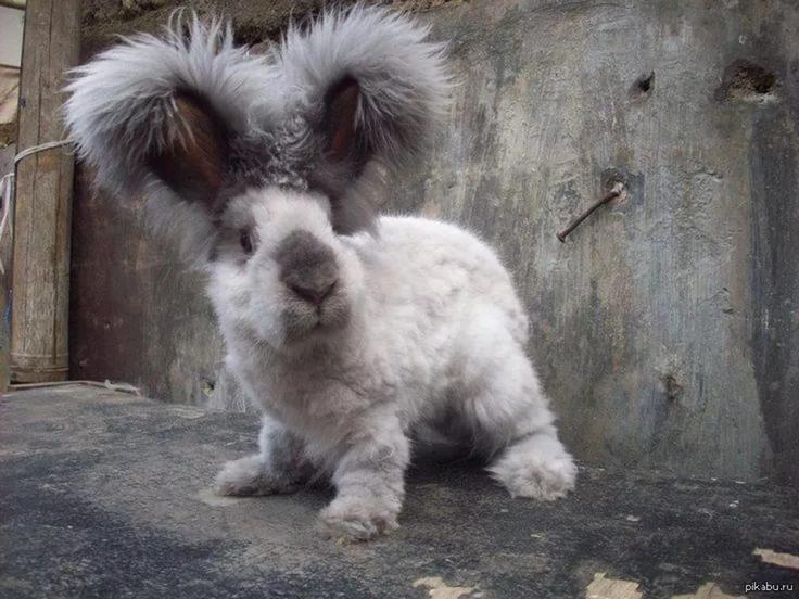 Декоративный кролик редкой породы с большими пушистыми ушами