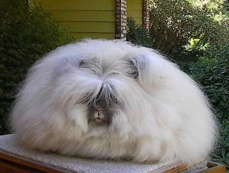Пушистый кролик редкой дорогой породы