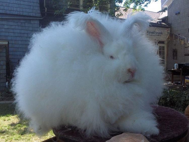 Кролик пуховой породы может быть домашним любимцем