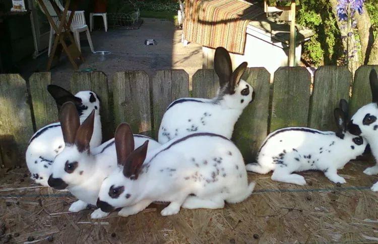 Кролики необычной расцветки и редкой для наших широт породы