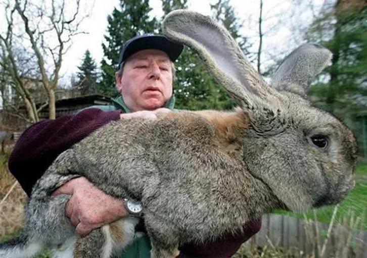 Кролик крупной мясной породы не помещается на руках взрослого человека