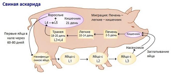 Схема заражения свиней аскаридой