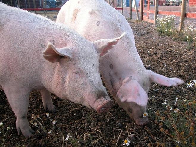 Аскаридоз свиней диагностика лечение