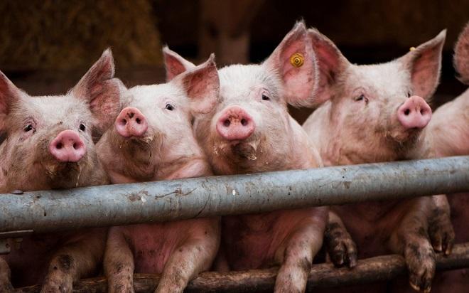 Грязь в свинарнике повышает опасность заражения аскаридой