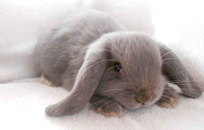 Здоровье декоративных кроликов зависит от питания и содержания
