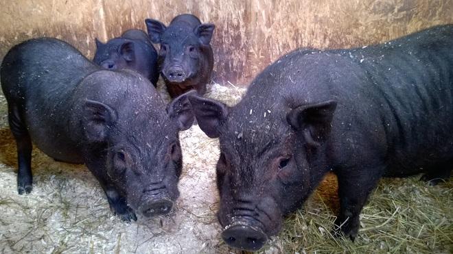 У вислобрюхой свиньи непросто разглядеть повреждения кожи