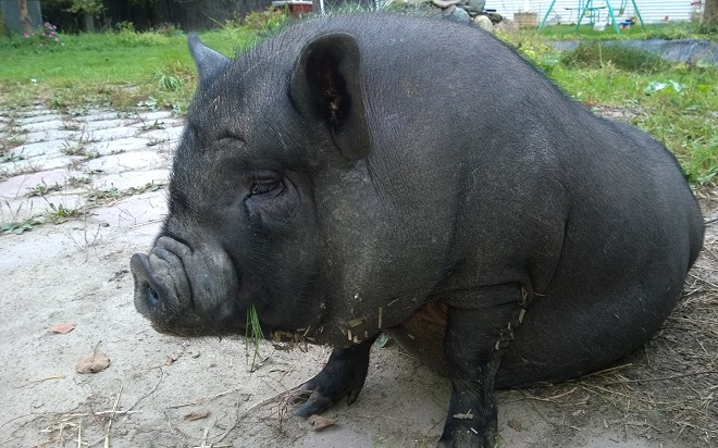От заболеваний вьетнамских вислобрюхих свиней убережет правильное содержание