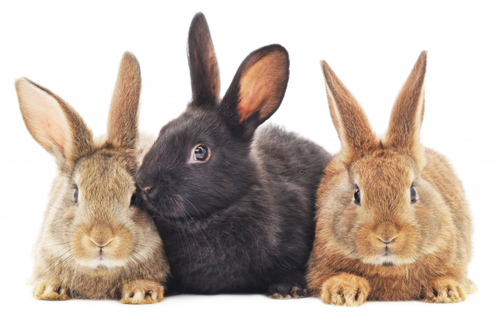Ложная беременность у кроликов - что делать и как определить