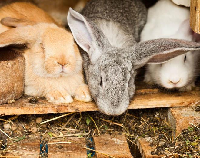 Свежий кроличий помет используют после перегнивания