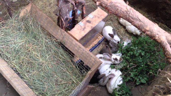 Содержание кроликов в яме экономит средства и время заводчика