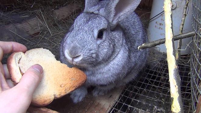 Кролика кормят хлебом