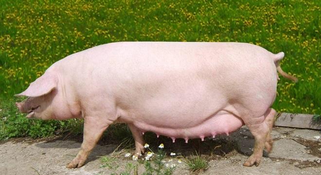 У беременной свиноматки растет аппетит и живот