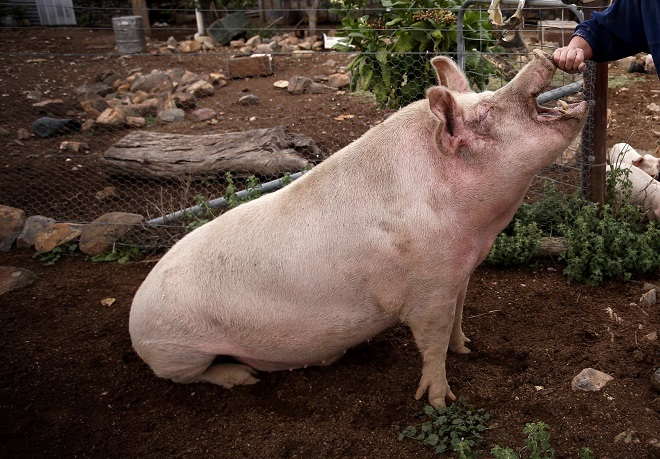 Свиноматке на сносях понадобятся добавки в рацион