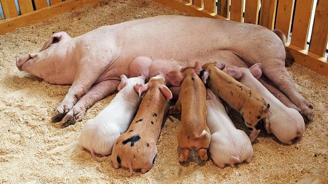 Беременная свинья требует внимания и заботы