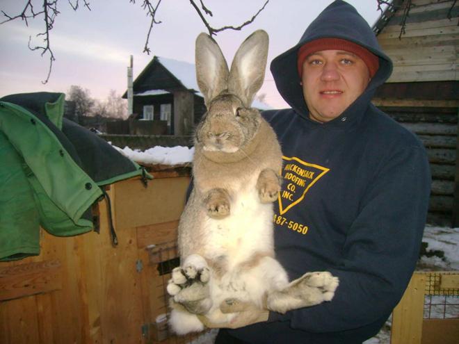 У кролей-великанов выход мяса меньше