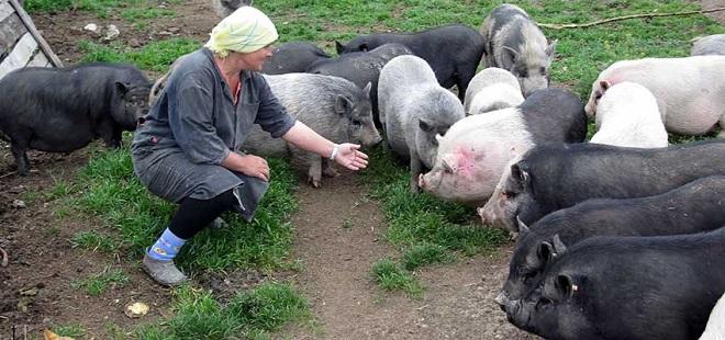 Корм для вьетнамских свиней специально подготавливают