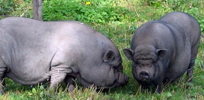 Выгода от разведения вьетнамской породы свиней очевидна