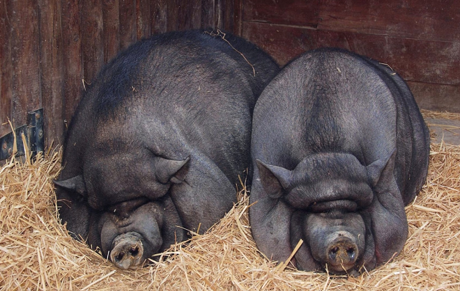 Разведение вьетнамских свиней - выгодное предприятие