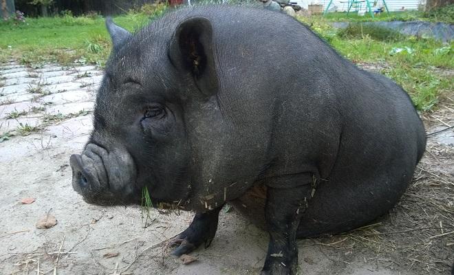 Вьетнамскую породу отличают черная шкура, свисающее брюхо и приплюснутая морда