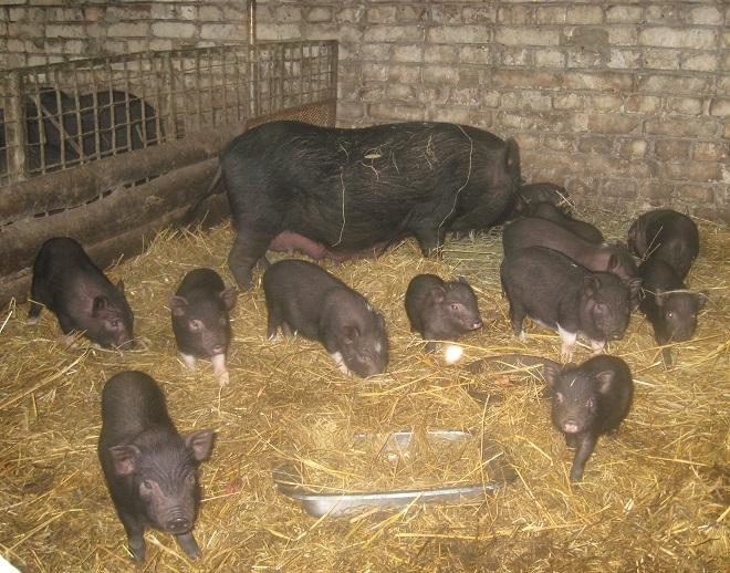 У свинарника вьетнамских свиней должны быть прочные стены и крепкий пол