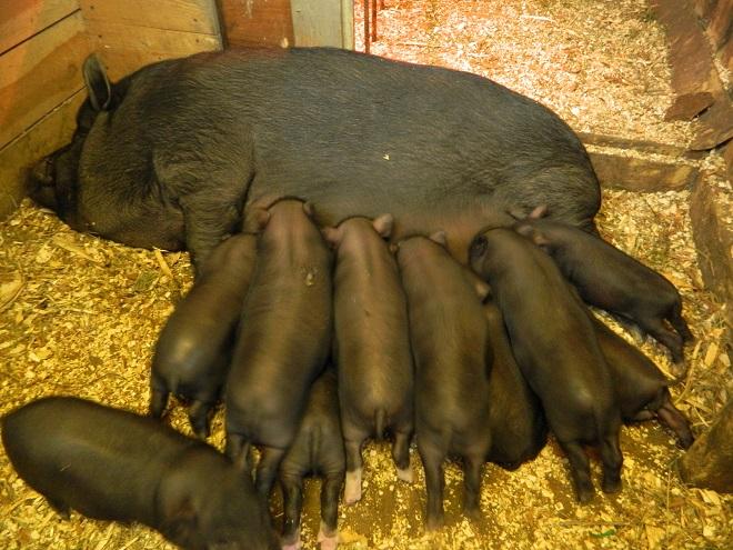 Свиньи вьетнамской породы обожают овощи