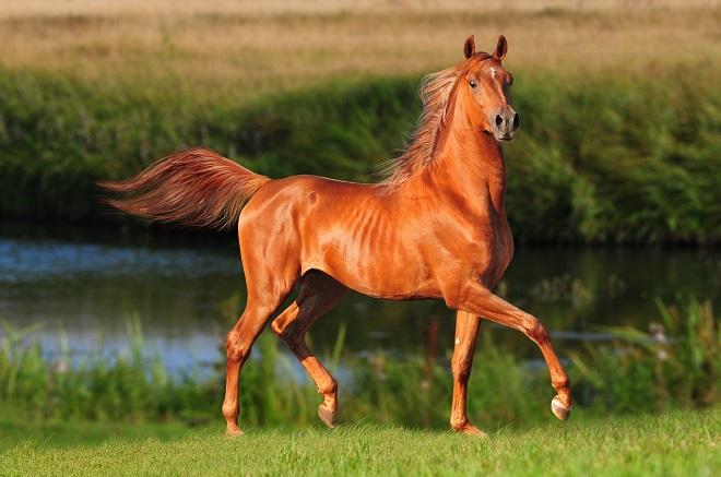 Красота и грация лошади подчеркивается рыжей мастью