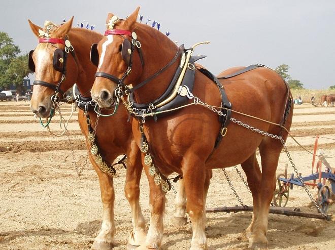 Тяжеловозы - мощные и выносливые лошади