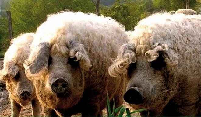 Шерстяная венгерская свинья Мингалица славится густой кудрявой шерстью
