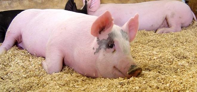 У свиней сальных пород большой процент сала