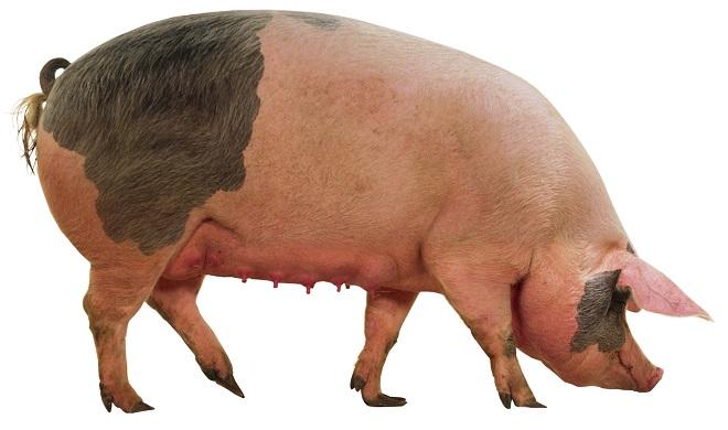 Сальные породы свиней имеют преимущества