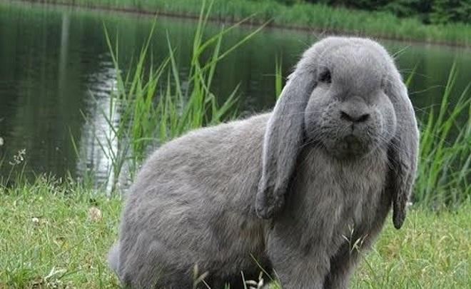Неприхотливые и экстравагантные кролики