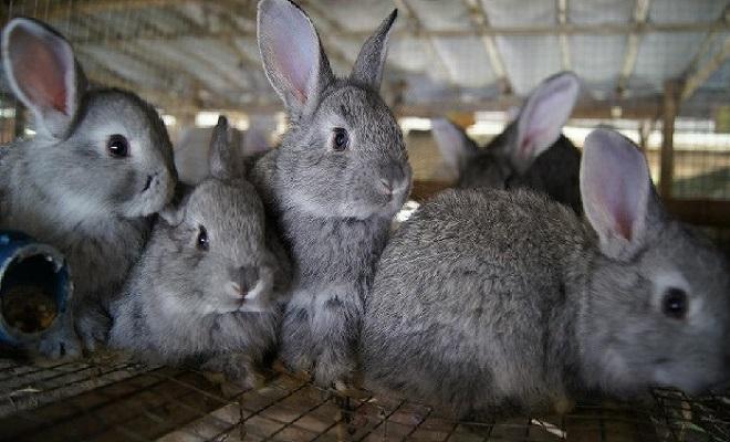 Особенности породы кроликов баран