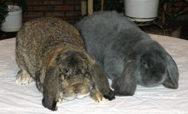 кролики нуждаются в постоянном уходе