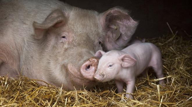 Чтобы свинья дала потомство, о ней надо позаботиться