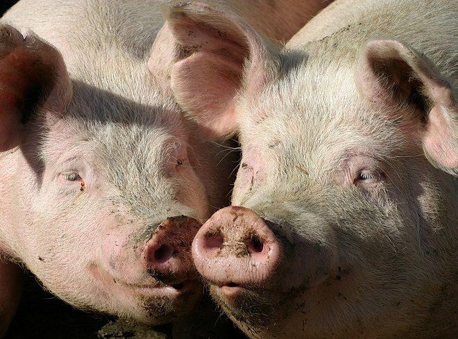 Свиноматка может отказаться давать потомство