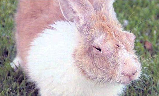припухлость век у кролика при авитаминозе