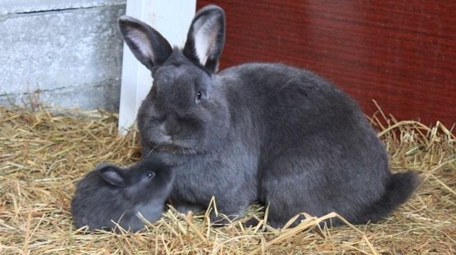 Венские голубые кролики - плодовитая порода