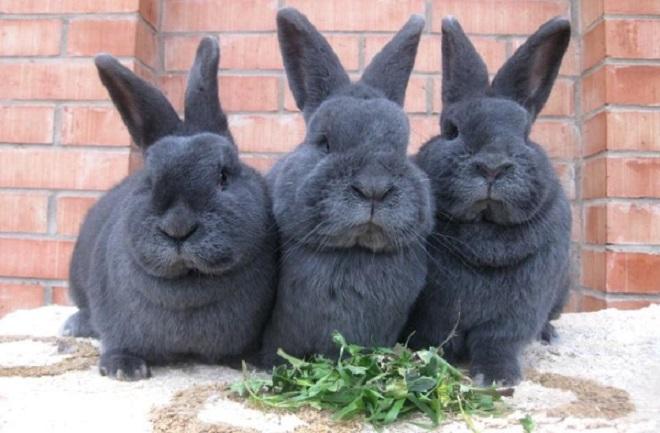 Кролики этой породы нередко становятся домашними любимцами