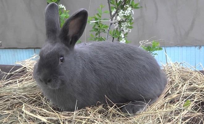 Венские голубые кролики рождаются с серым мехом