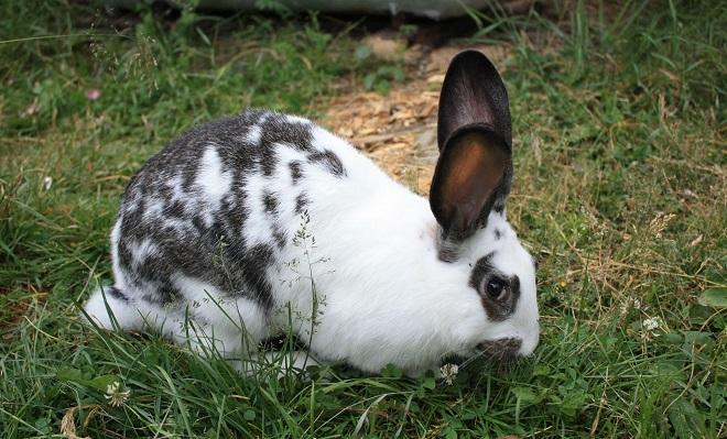 Кролики этой породы любят пастись