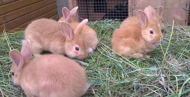 От капусты у бургундских кроликов брожение и дисбактериоз