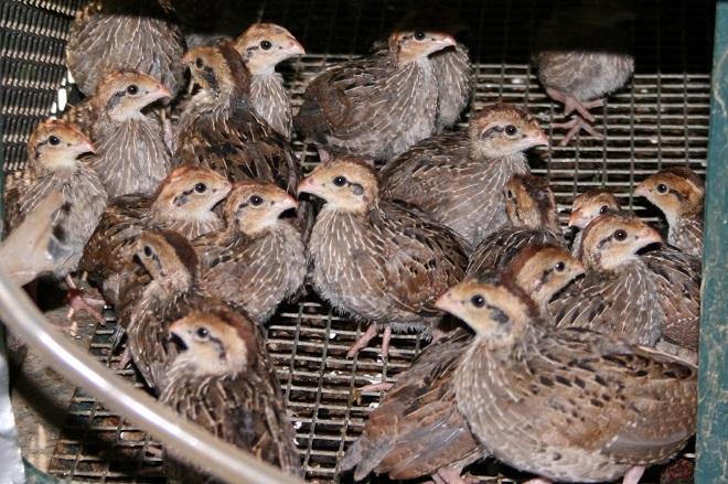 Рацион птенцов меняется в зависимости от их возраста