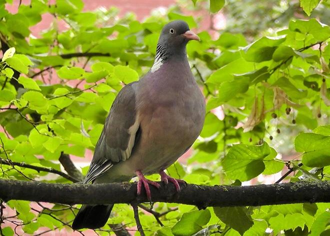 Вяхирь - крупный лесной голубь