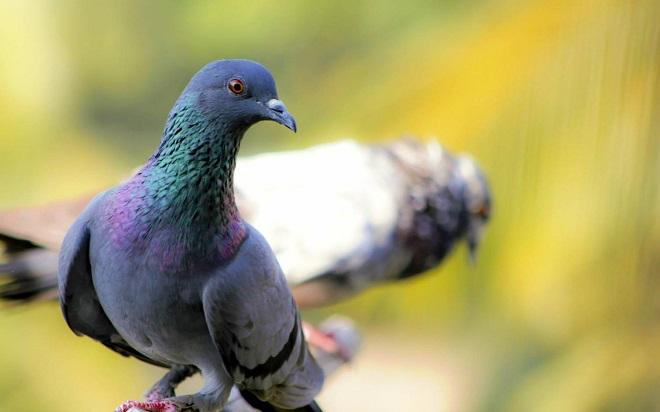 Сизый голубь вьет гнездо подальше от хищников