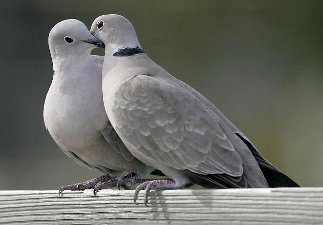 Дикие голуби по красоте и повадкам не хуже породистых
