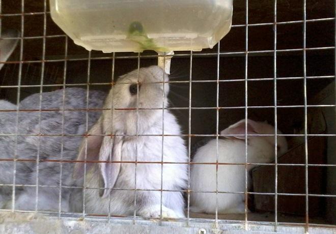 Из вакуумной поилки кролику удобно пить