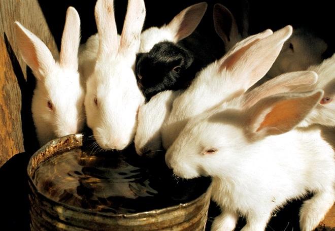 Кроликам нужны практичные поилки